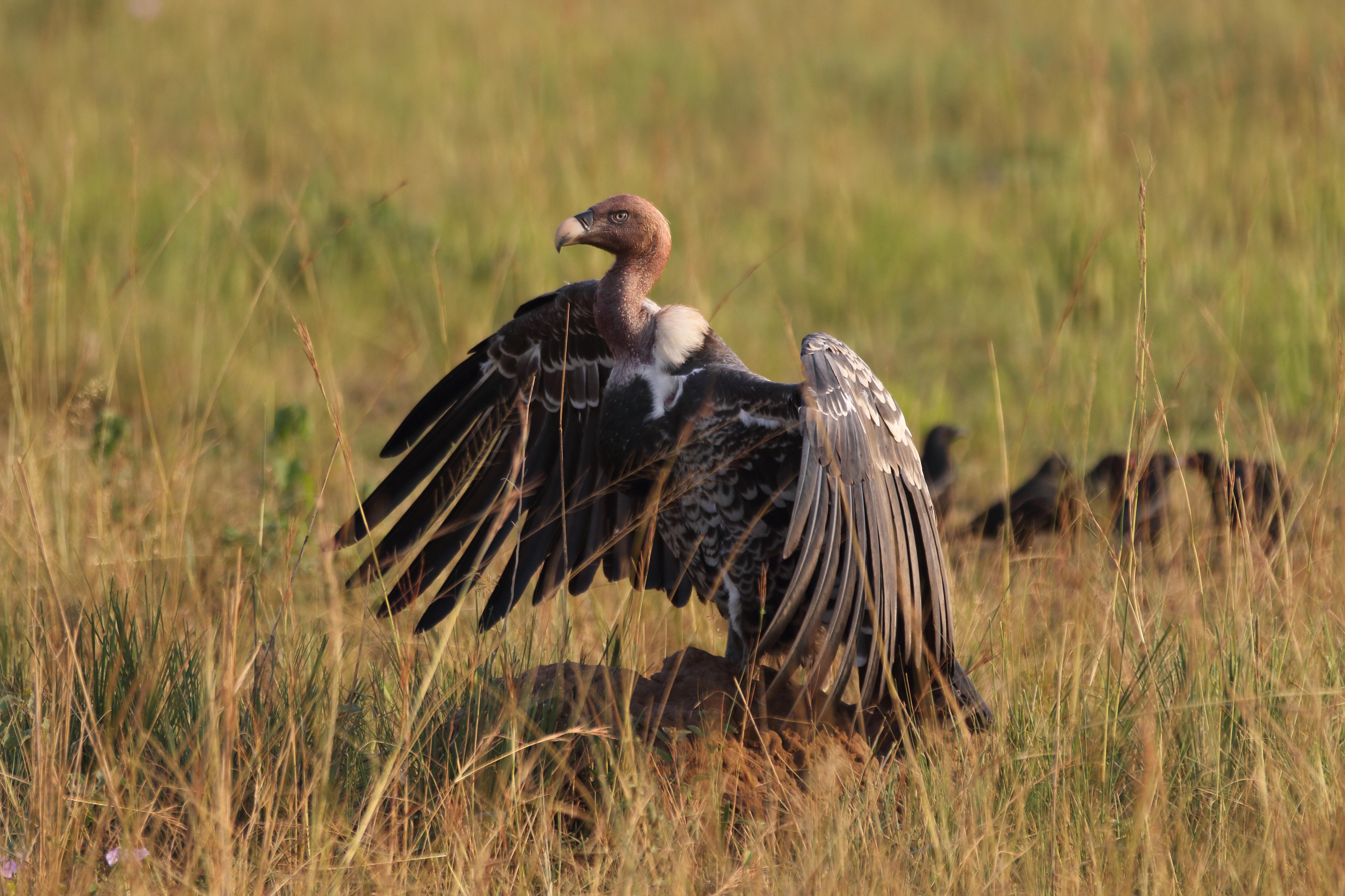 Rueppels griffon vulture