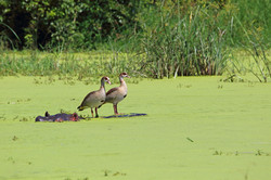 Egyptian Geese riding on hippo