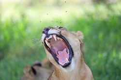 Lioness yearning
