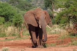 Elefant in Tarangire National Park