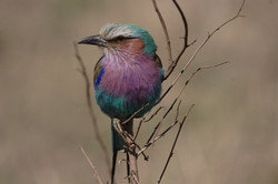 Lilac-breasted-Roller