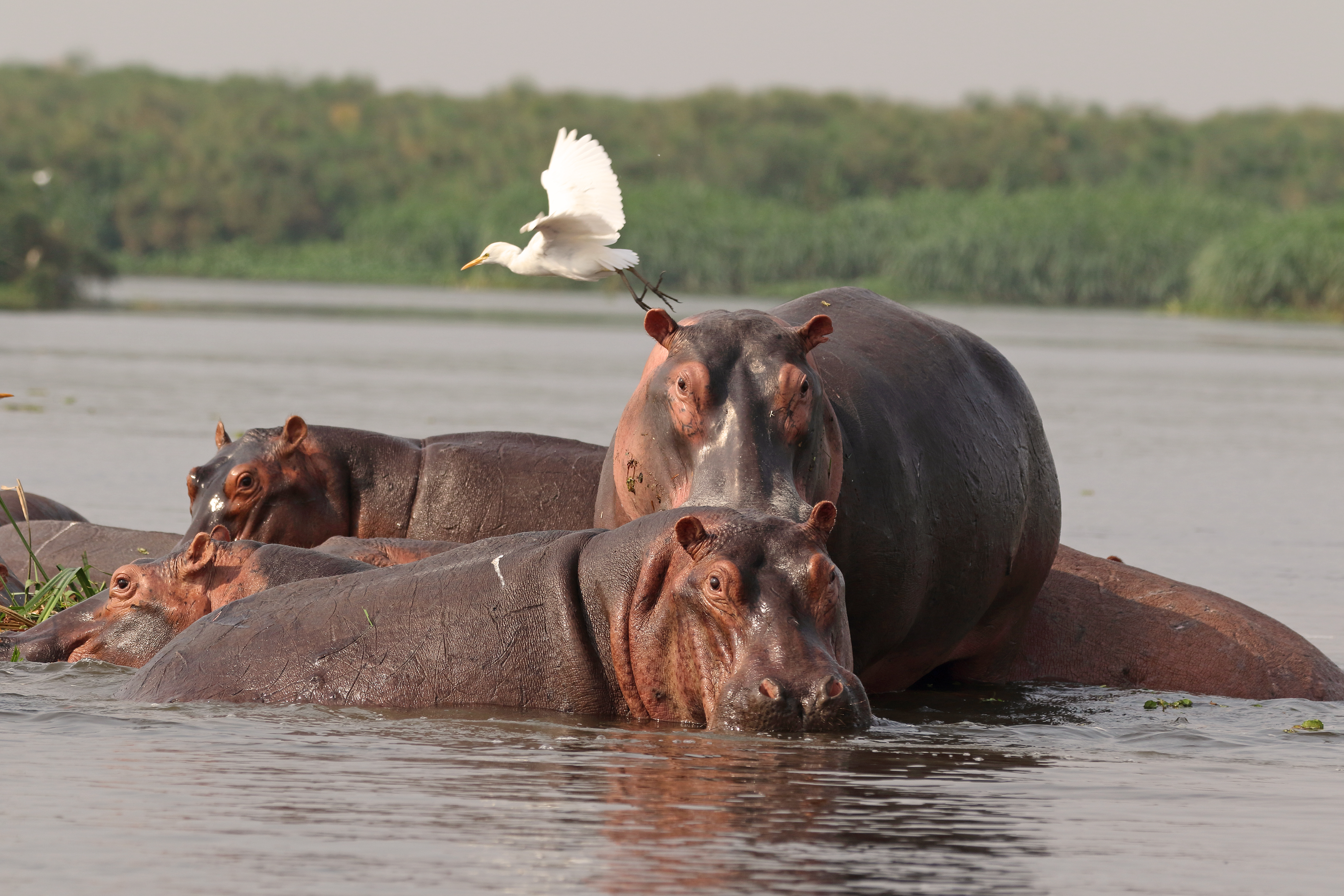Hippos and Cattle Egrets