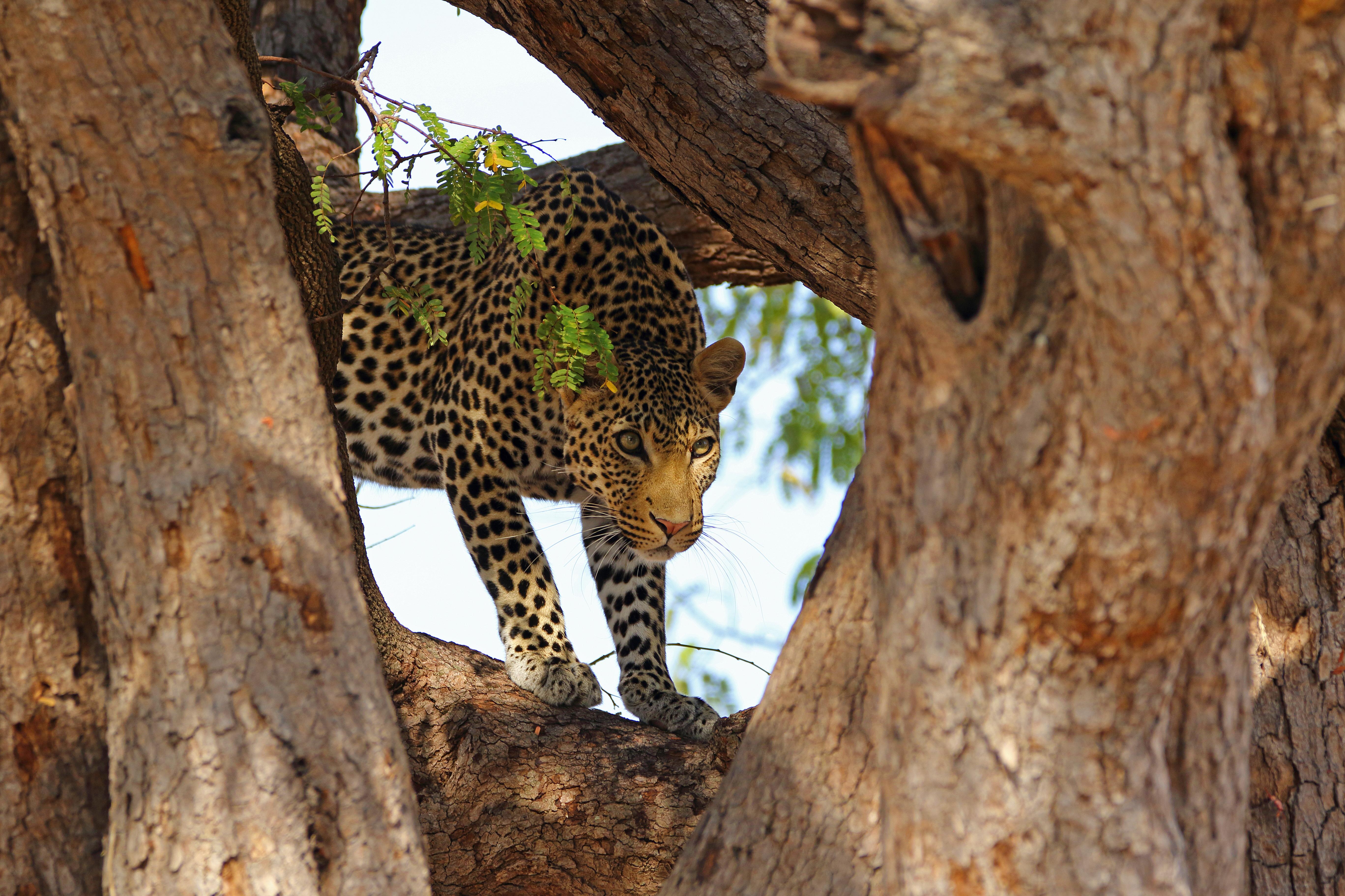Leopard hidding in a tree