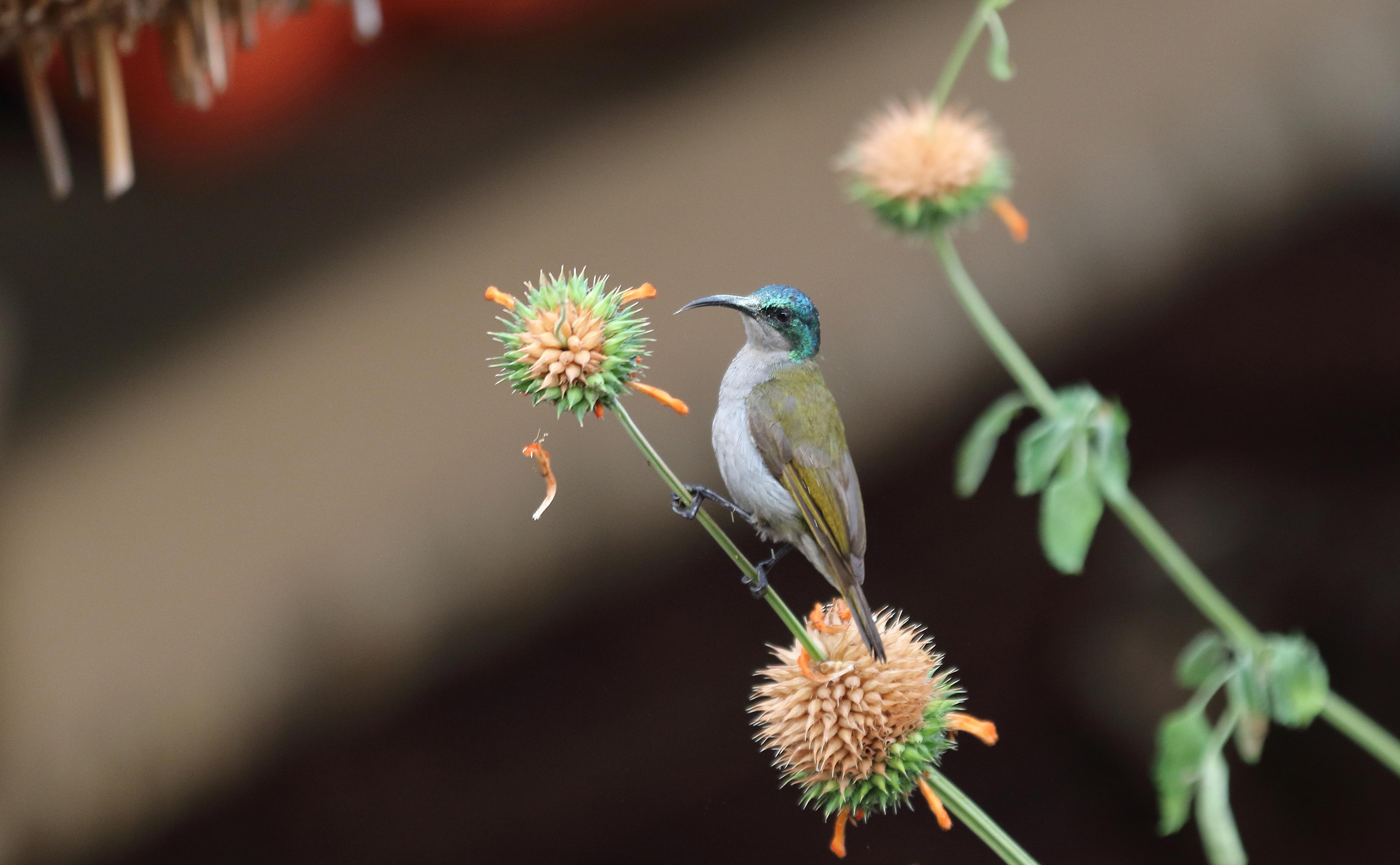 Green-headed Sunbird