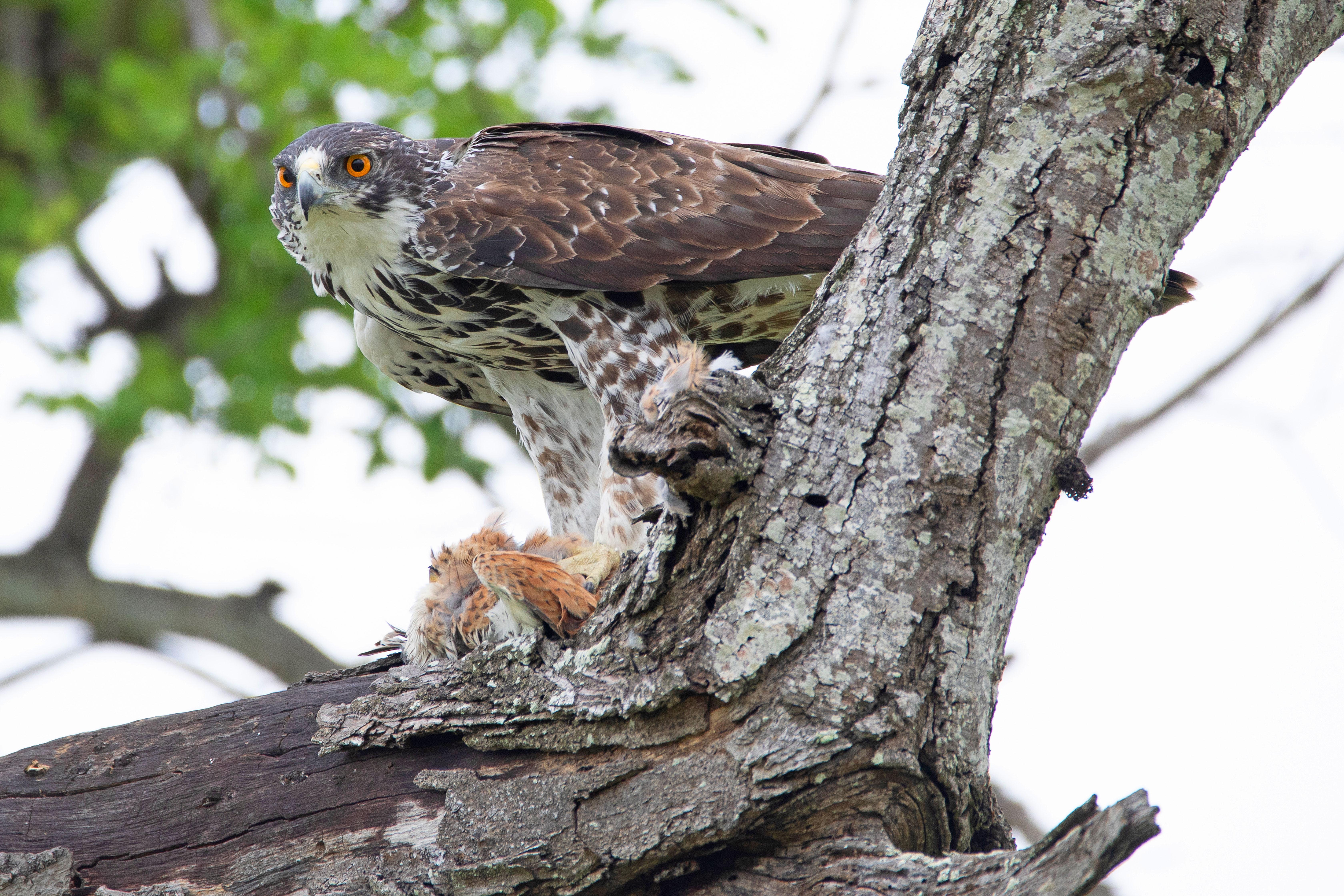 Ayres's Hawk-Eagle
