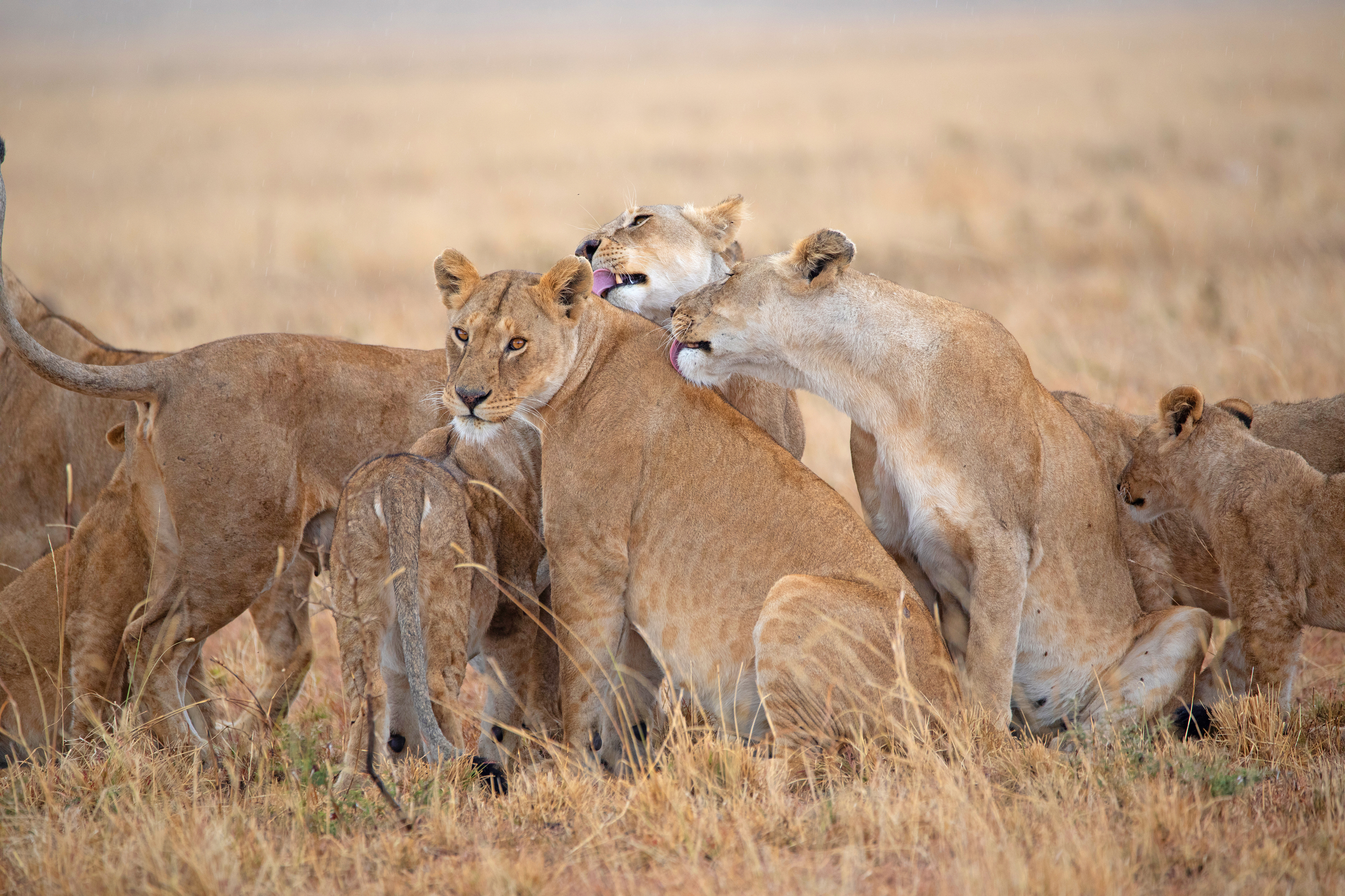 Lion family in the rain