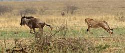 Cheetah hunting gnu