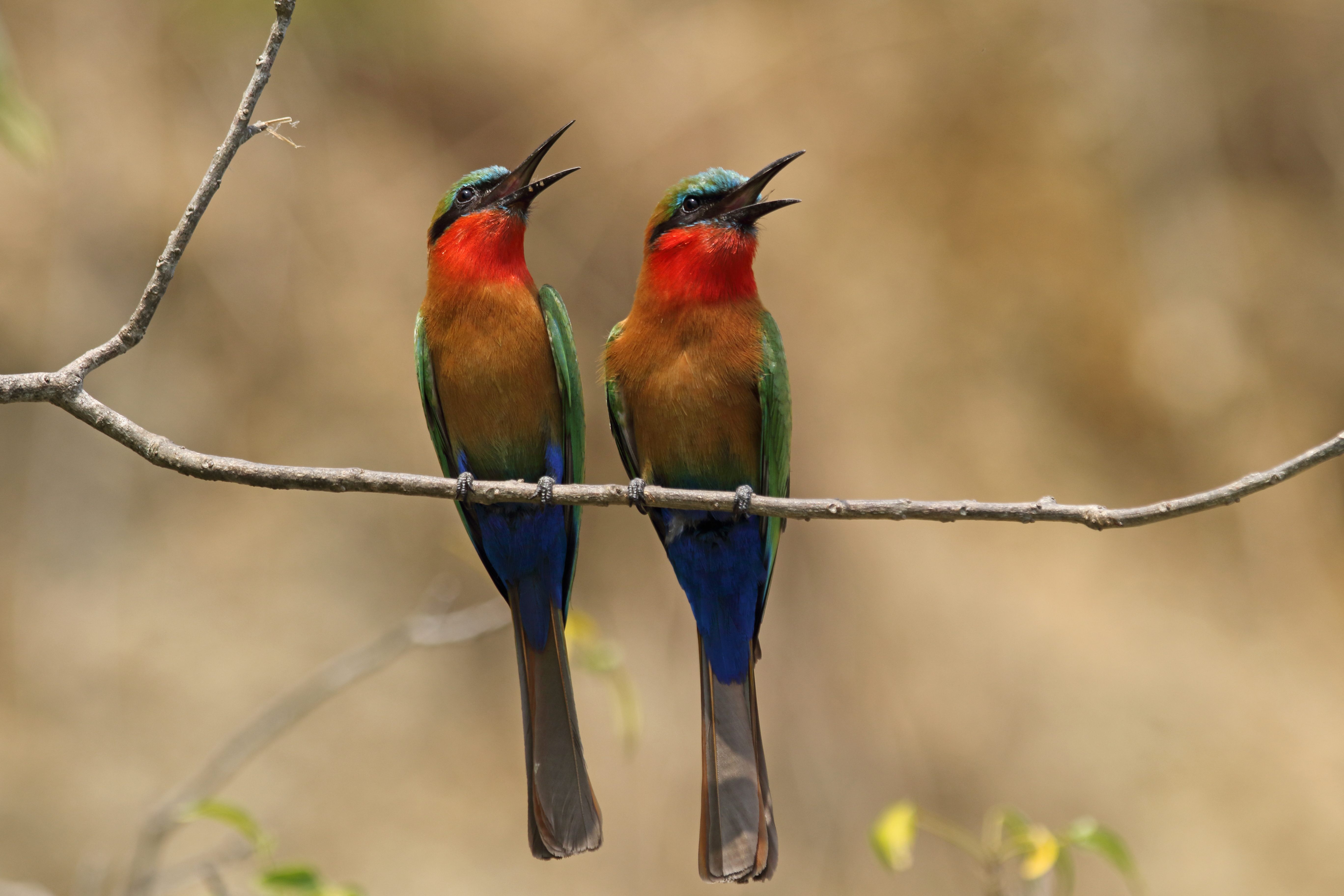 Red fronted bee-eater