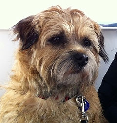 Border terrier Linda copied