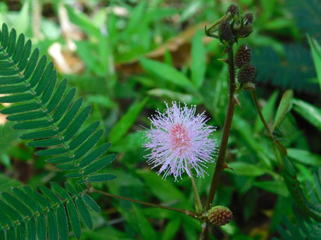 """Mimosa pudica, the """"touch-me-not"""" plant."""