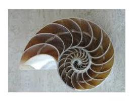 coquille Fibonacci.jpg