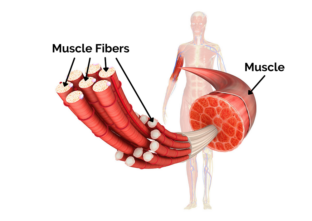 LIFT Studios - Muscle Physiology