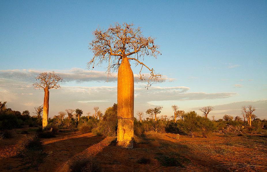 Baobab Trees, Isalo, Madagascar