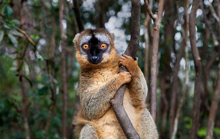Red Lemur, Madagascar
