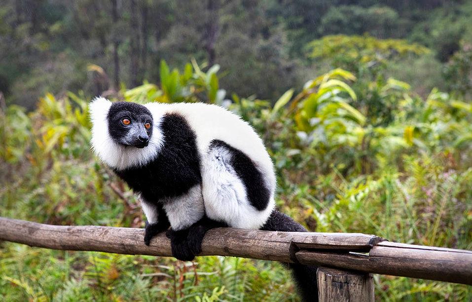 White Ruffed Lemur, Madagascar