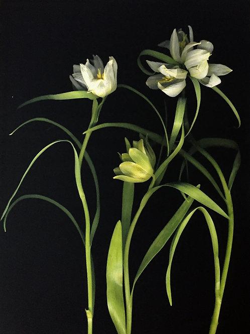 White Frittilaria