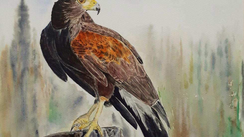 Harris Hawks, watercolour painting, full image.
