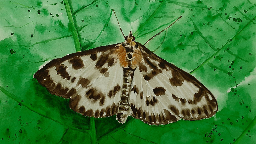 Small Magpie moth, watercolour painting, full image.
