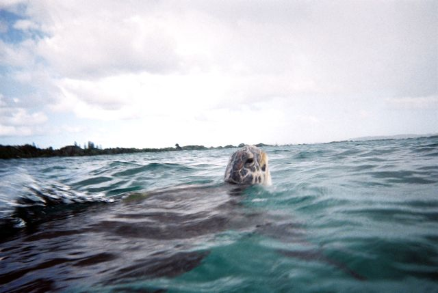Turtle pops its head up in the Bay