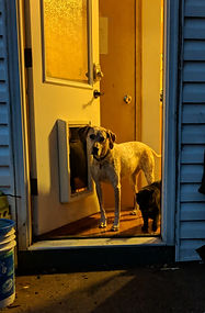 anya the dog and magc the cat standing in dooray lit in a mustard color looking outside framed by wall siding that is a grey-royal blue in the dusk