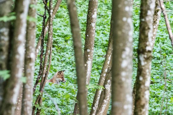 Renard-en-forêtweb.jpg