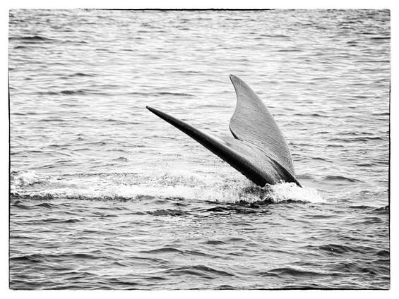 Queue-baleine2.jpg