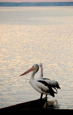 Pélicans-Kangourou-Island.jpg