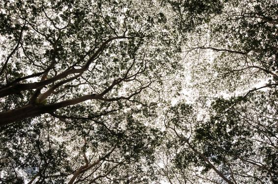 Canopée-Australie.jpg