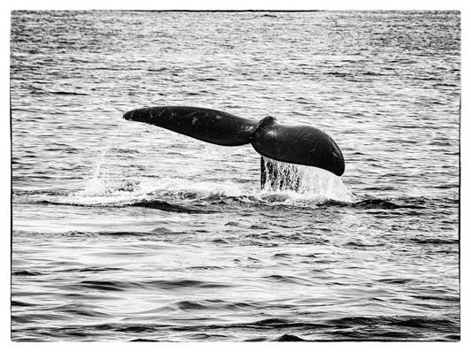 Queue-baleine1.jpg