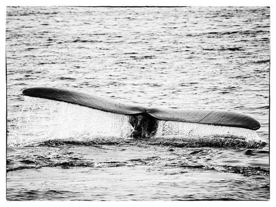 Queue-baleine3.jpg