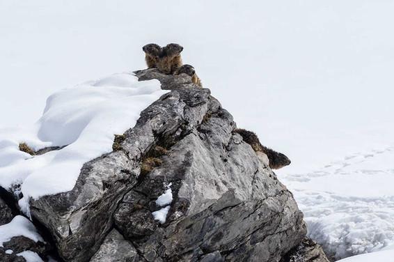 Marmottes-du-le-rocher1.jpg