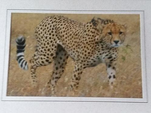Cheetah Blank Greeting Card