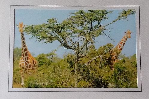 Giraffes Blank Greeting Card