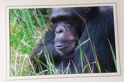 Chimpanzee Blank Greeting Card