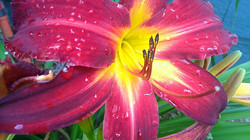 Lily2