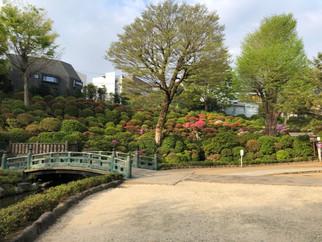 根津神社つつじ開花情報4月6日