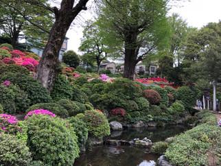 根津神社つつじ開花情報4月7日