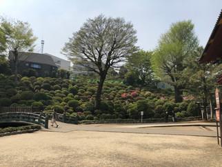根津神社つつじ開花情報 4月4日