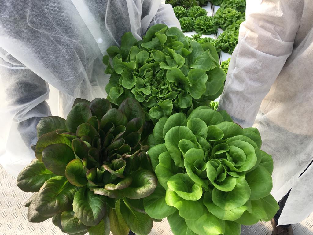 CleanGreens lettuce oak leaf Batavia clean fresh sustainable agriculture premium quality
