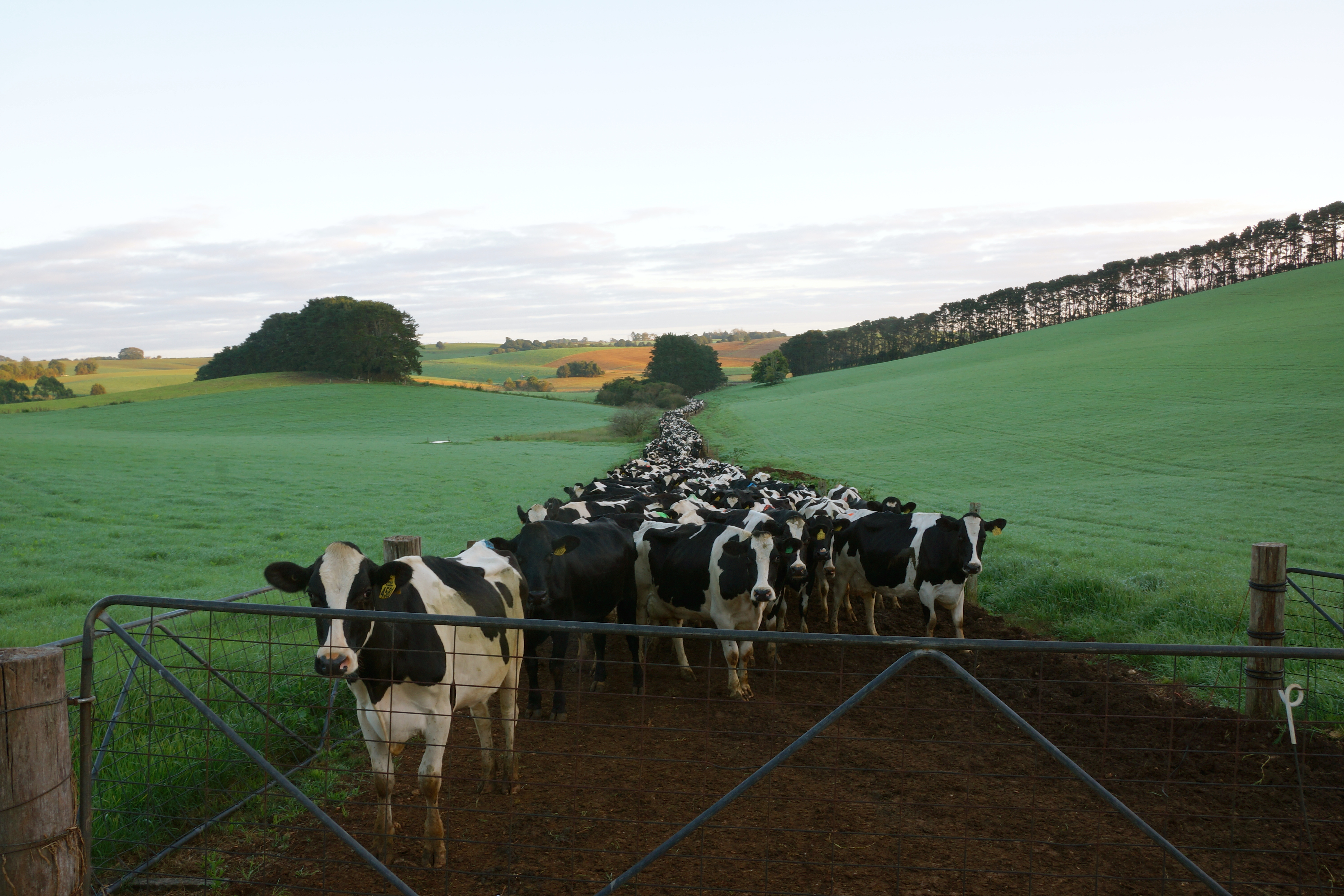 Dairy cattle waiting