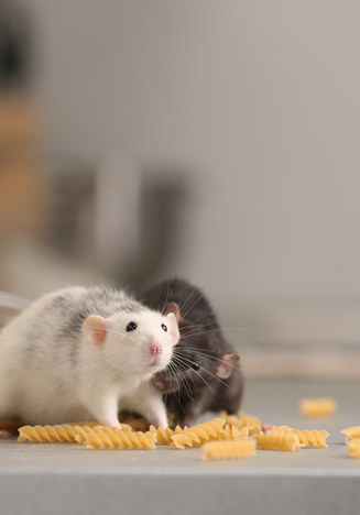 Rats near open container with pasta on k