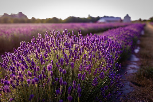 County Lavender