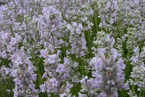 Lavender Angustifolia - 'Rosea'