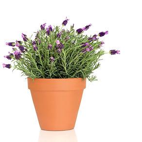 Stoechas Lavender Plant.jpeg