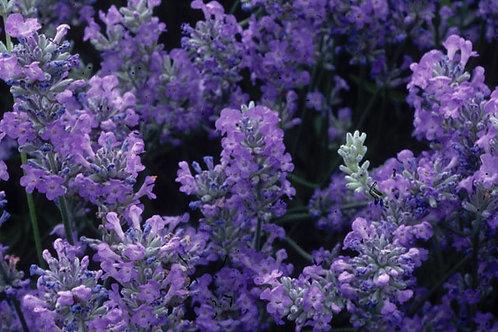 Lavender Angustifolia 'Little Lady'