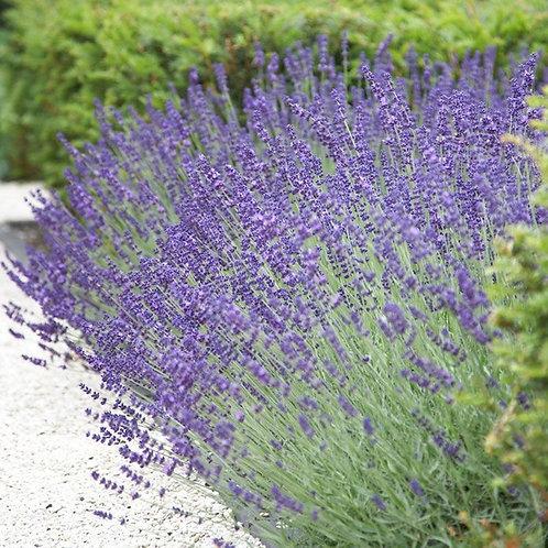 Lavender x Intermedia - 'Vera'