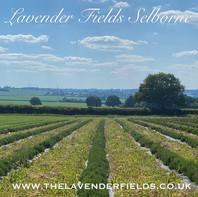 Hidcote lavender 2020