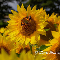 Sunflowers in Selborne 2019.jpg