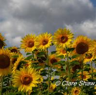 Selborne Sunflowers 2019.jpg
