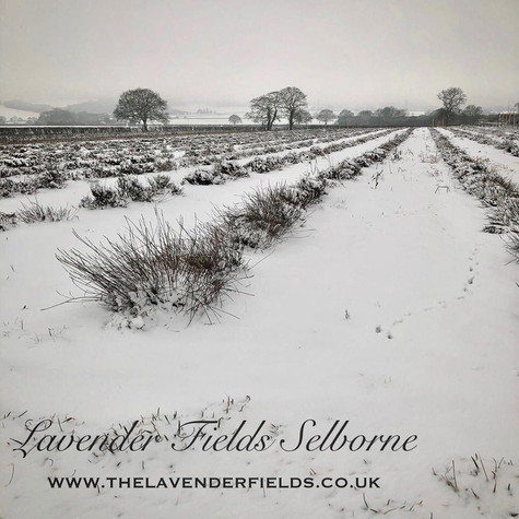 A Snowy Lavender Field